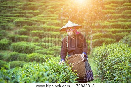 Asia women were picking tea leaves at a tea plantation