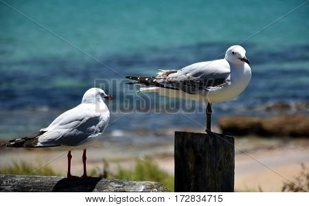 Seagulls sitting and resting on wooden piles.