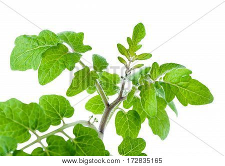 fresh tomato seedling branch close-up isolated on white background