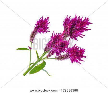 Wool flowerCelosia Argentea L. var cristata (L.) Kuntze isolated on white background