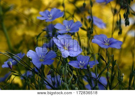 Blue flowers of decorative linum austriacum and its runaways on a difficult background.