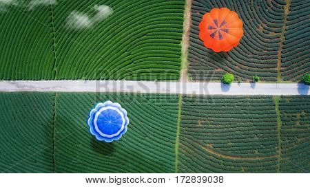 Hot air balloon fly over green tea farm top view bird eye view from drone