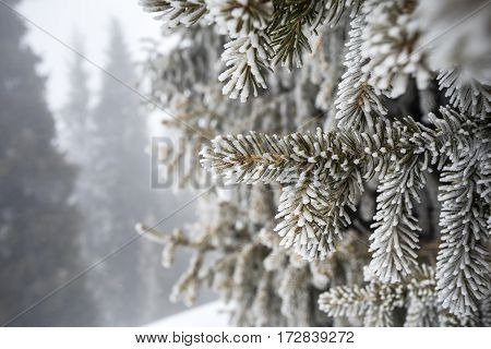Beautiful Pine Tree In Frost