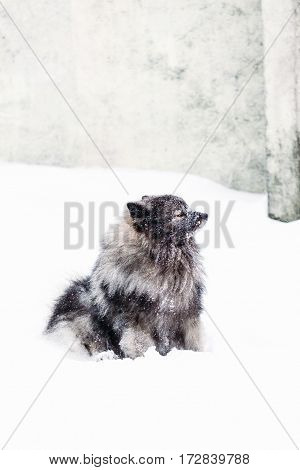 Keeshond is sitting in the snow on a background wall. Winter