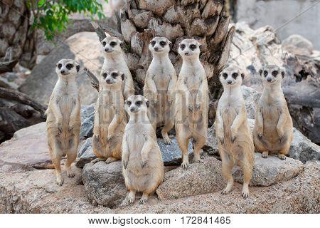 Meerkat Family are sunbathing Animal from africa madagascar