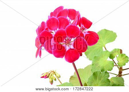 Indoor flower geranium closeup on a white background.