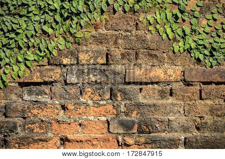 Grunge Garden Brick Wall Background With Ivy.