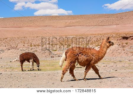 Lama in the desert of Jujuy province (Argentina)