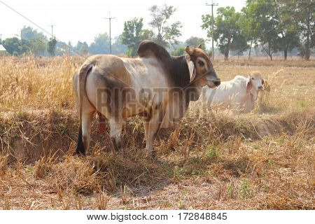 White male, brown cow was left with the white female cattle to eat natural food in the daytime, in the farm country.