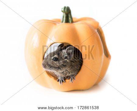 Small cute degu hides in its adorable orange pumpkin-looking house, closeup