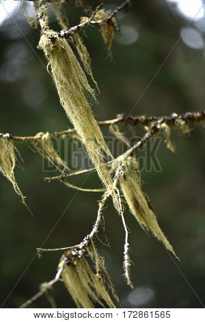 Usnea Barbata, Old Man's Beard Hanging On A Fir Tree Branch