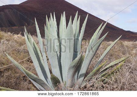 One big blue agave plant stone rock desert, Islote de Lobos, Canarias, Spain