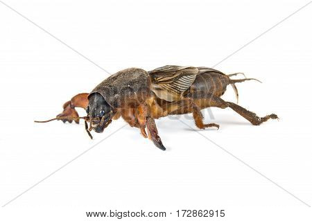 Agricultural garden pest it is isolated on a white background by closeup