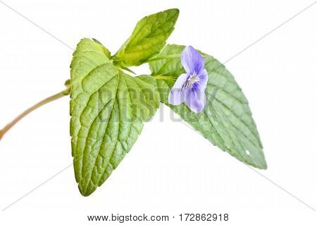 Violet wild flower timber isolated on white background