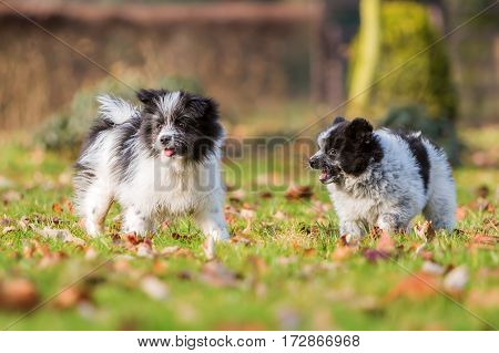 Two Elo Puppies Playing Outdoors