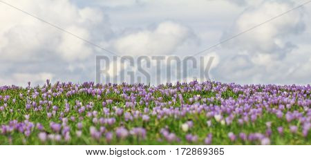Field of wild purple crocuses with sky and clouds in background
