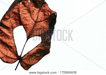 Closeup dry leaf with heart shape isolated