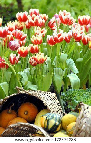 Red tulips in garden with pumpkins in bamboo basket