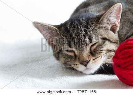 Sleepy gray cat and red ball of wool on white background