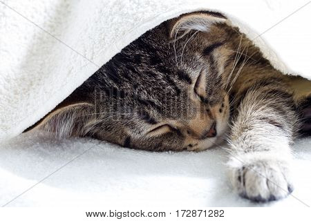 Gray tabby young cat resting and sleeping under white towel