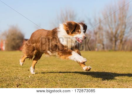 Old Australian Shepherd Dog Runs On The Meadow