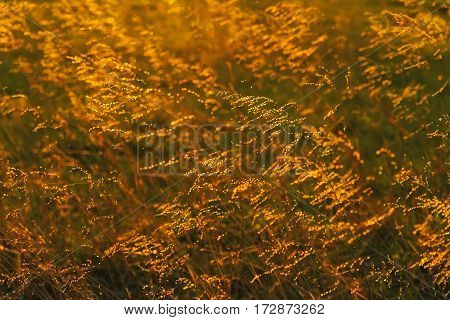 Backlit tall prairie grass in the Flint Hills of Kansas