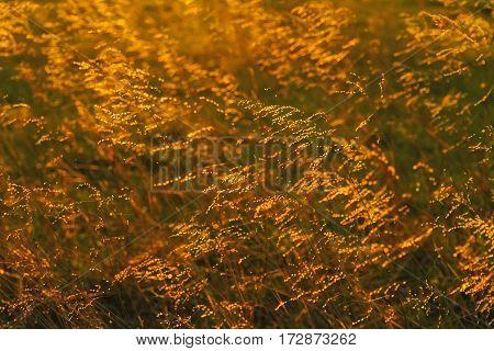 Backlit tall prairie grass in the Flint Hills of Kansas
