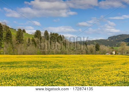 Beautiful yellow flower meadow and a ranch house in distance. Sunny and clear spring day.
