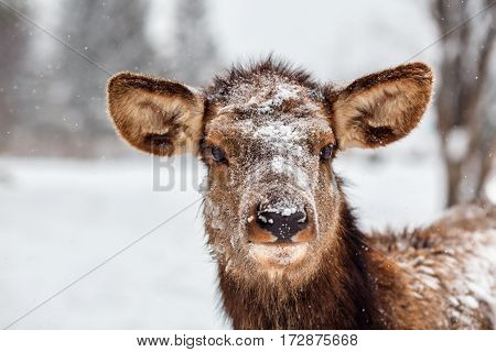 A deer during snowfall in the low Middle Ural Mountains of Russia.