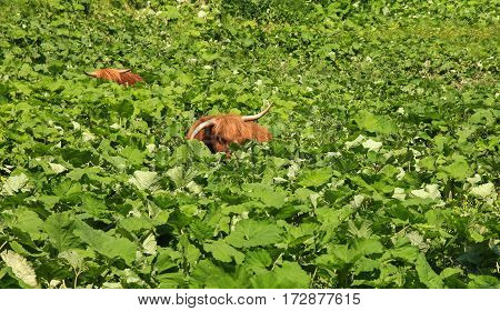 Two highland cattles are relaxing and hiding in deep vegetation. Funny and peaceful situation.