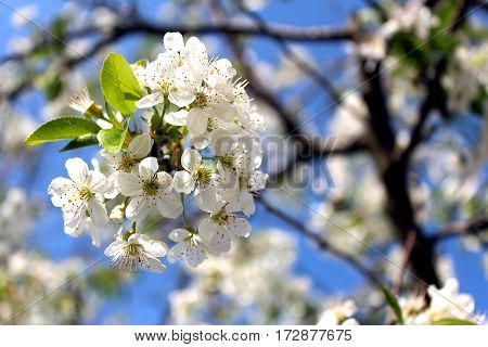 magnificent cherry flower in the spring  spring day