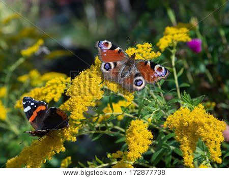 Peacock and red admiral butterflies is flickering on yellow flowers.