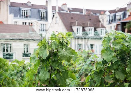 Close up of vineyard on Montmartre hill Paris France.