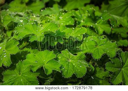 background of green leaves in the dew drops