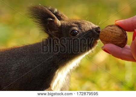 cute wild squirrel ( Sciurus vulgaris ) picking nut from female hand