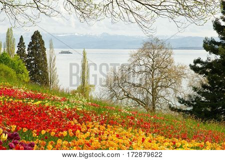 Tulips field in Spring with a lake and mountains in background. A ferry is crossing the lake.