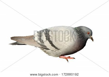 feral pigeon isolated over white background profile view