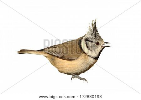 garden bird the european crested tit ( Lophophanes cristatus ) isolated over white background