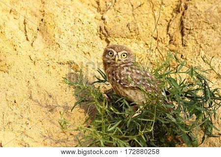 cute juvenile little owl ( Athene noctua ) near the nest