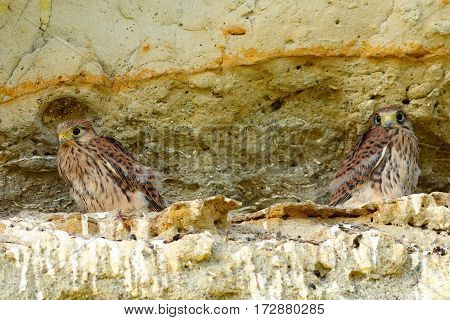 juveniles common kestrels at nest ( Falco tinnunculus )
