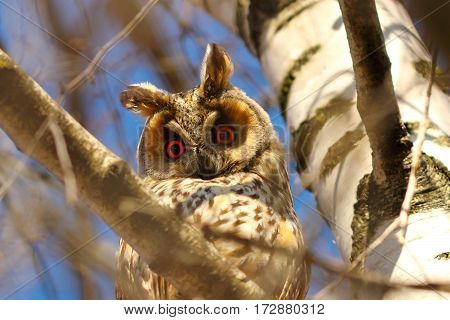 long eared owl in birch tree curious wild bird looking at the camera ( Asio otus )