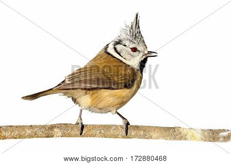 perched european crested tit isolated on white background ( Lophophanes cristatus )