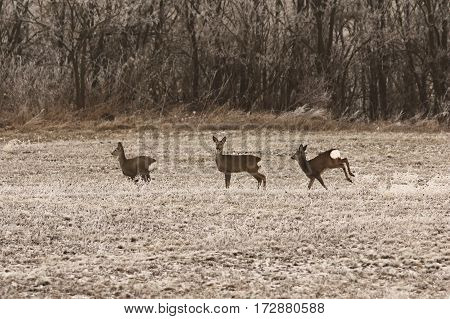 three roe deers in the field in late autumn morning ( Capreolus )