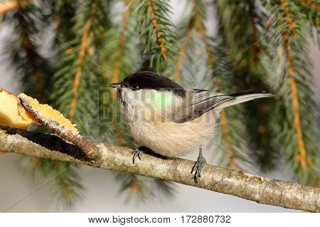 tiny coal tit perched on a twig near lard feeder ( Periparus ater )