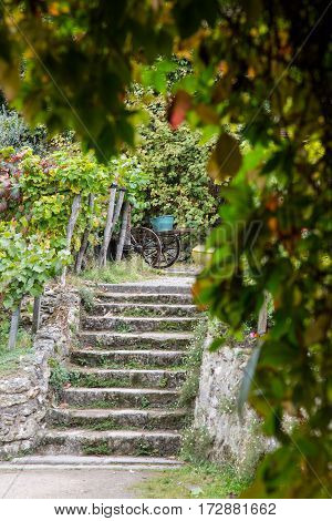 Oldest vineyard on Montmartre hill in Paris, France.