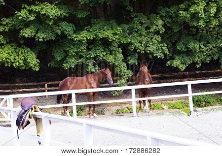 Pair of young brown horses behind white fence corral in summer sunny day