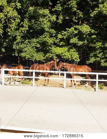 Pair of young brown horses behind white fence corral in summer sunny day. Horses kissing and love. Horses in distance