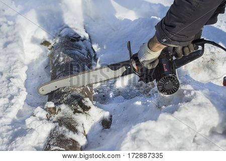 Lumberjack cuts a tree limb into pieces in a forest in the snow.  Sawing felled tree into pieces