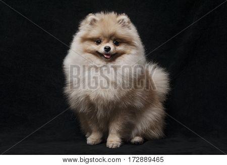 photo of shpitz dog sitting looking to camera on black background