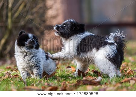 Two Elo Puppies Scuffle Outdoors